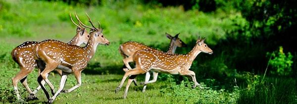 Deers at Sundarban